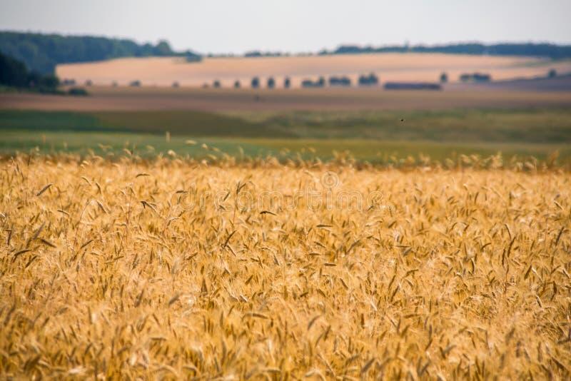 Sädesslagfält i sommar arkivfoto