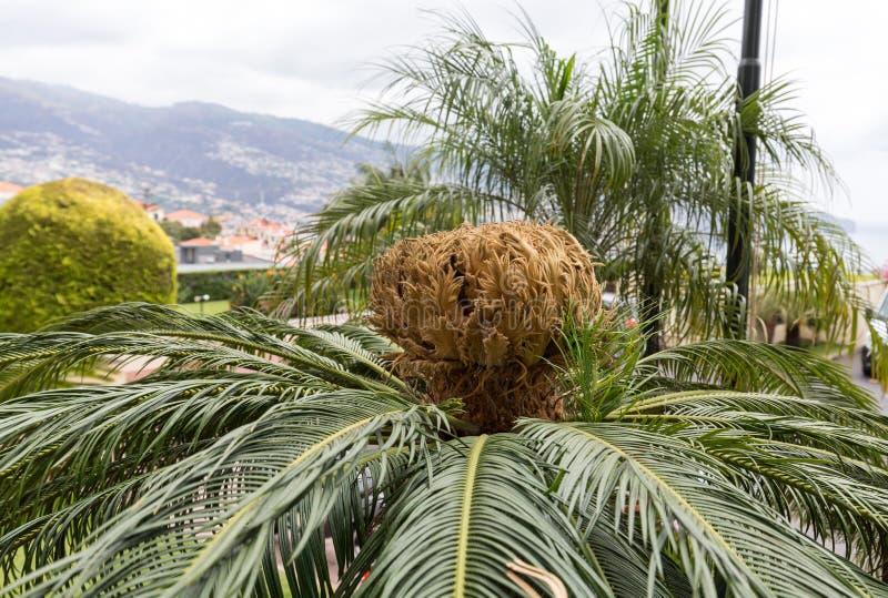 Säen Sie Kopf von Bangalow-Palme, Archontophoenix-cunninghamiana stockfotografie