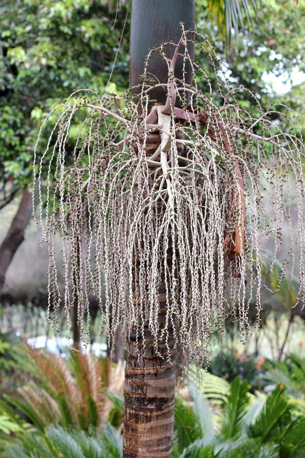 Säen Sie Kopf von Bangalow-Palme, Archontophoenix-cunninghamiana lizenzfreies stockbild