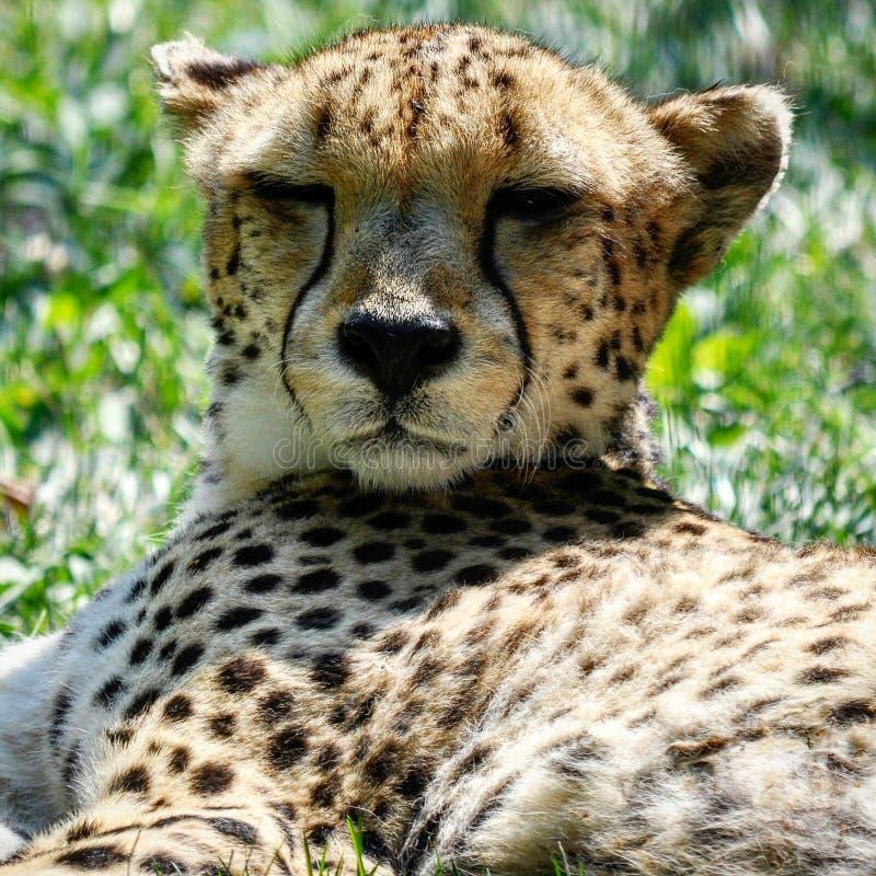 Säg geparden! royaltyfri foto
