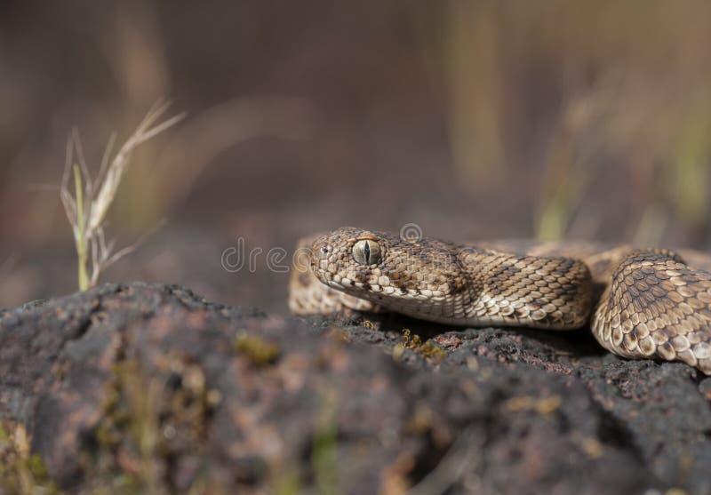 Säge eingestufte Viper gesehen am chalkewadi Platue lizenzfreie stockbilder