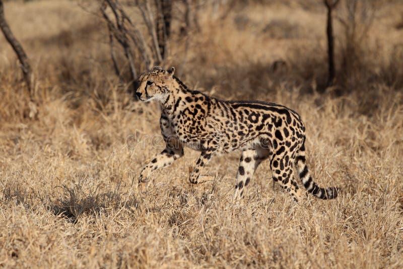 sällan cheetahkonung arkivfoto