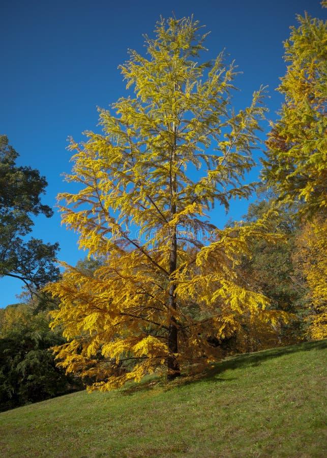 Sällsynt gult sörjer trädet på en perfekt molnfri dag royaltyfri bild