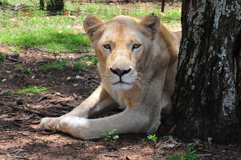 Sällsynt kvinnlig vit lejoninna, Sydafrika arkivbild