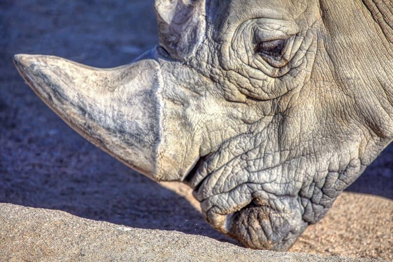 Sällsynt noshörning royaltyfri fotografi