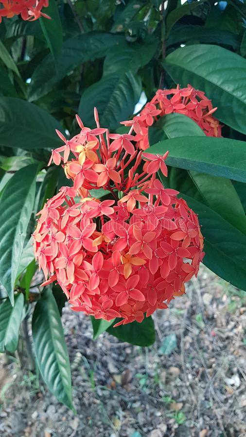 Sällsynt röd blomma royaltyfri foto