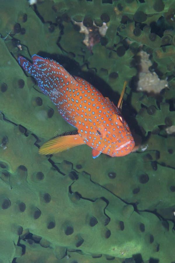 Sällsynt regnbågehavsaborrenederlag i svart korall av fältprästen Burgos, Leyte, Filippinerna arkivfoton