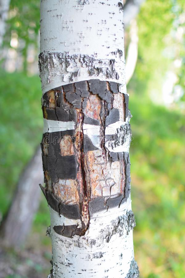Sällsynt textur av björkskället i skog på sommar fotografering för bildbyråer