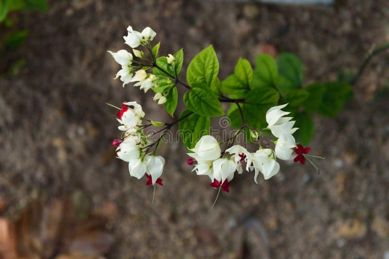 Sällsynt variation av blomman för vinranka för blödninghjärta royaltyfri bild
