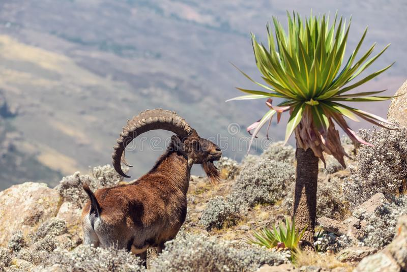 Sällsynt Walia stenbock i Simien berg Etiopien fotografering för bildbyråer