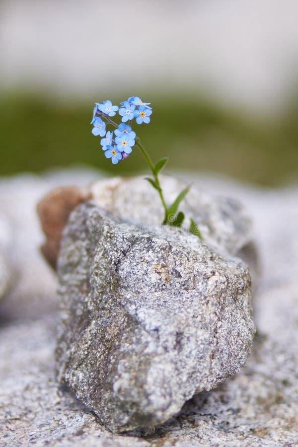 Sällsynta bergblommor och växter som växer på lutningen av de Kaukasus bergen, solig gryning Små härliga lösa blommor växer royaltyfria bilder