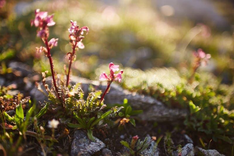 Sällsynta bergblommor och växter som växer på lutningen av de Kaukasus bergen, solig gryning Små härliga lösa blommor växer royaltyfri foto