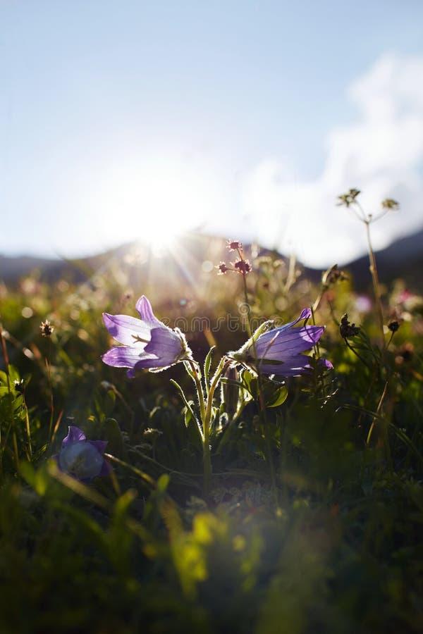 Sällsynta bergblommor och växter som växer på lutningen av de Kaukasus bergen, solig gryning Små härliga lösa blommor växer royaltyfri fotografi