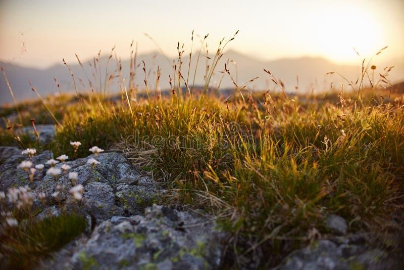 Sällsynta bergblommor och växter som växer på lutningen av de Kaukasus bergen, solig gryning Små härliga lösa blommor växer arkivbilder