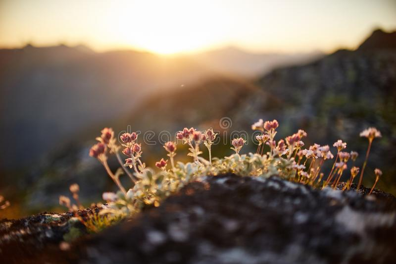 Sällsynta bergblommor och växter som växer på lutningen av de Kaukasus bergen, solig gryning Små härliga lösa blommor växer arkivfoton