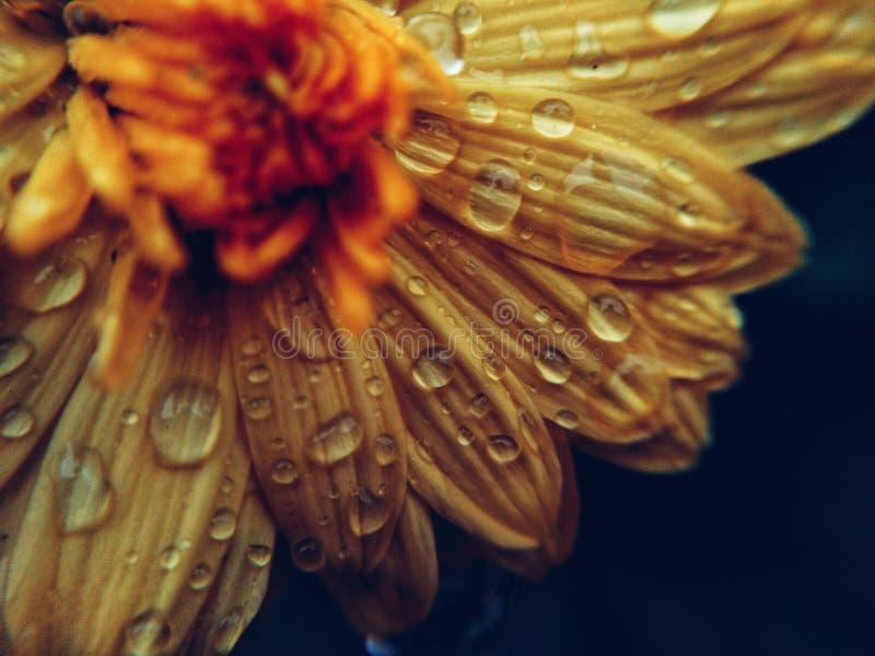 Sällsynta fall på gul petal royaltyfri bild