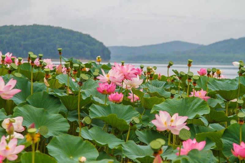 Sällsynta och härliga Lotus blommor arkivbild
