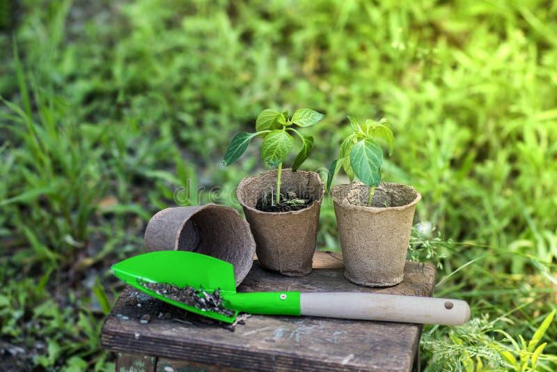 Sämling des Pfeffers und der grünen Schaufel auf einem hölzernen Schemel an einem Tag des Gartens im Frühjahr lizenzfreies stockfoto