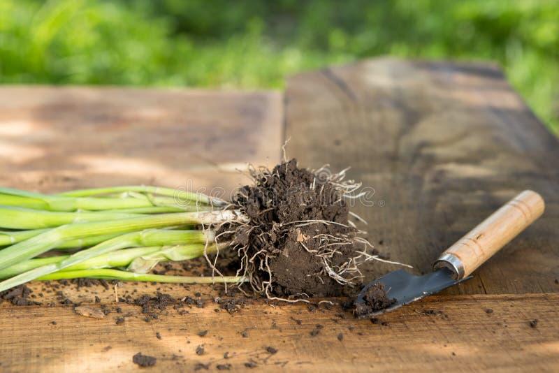 Sämlinge, Anlagen in den Töpfen und Gartenwerkzeuge auf dem Holztisch, grüner Baumhintergrund - Gartenarbeitkonzept stockbild