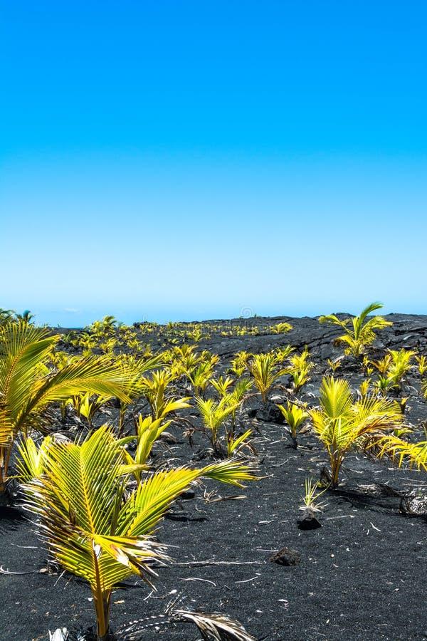 Sämlinge auf dem Lavafeld, Hawaii stockfotografie