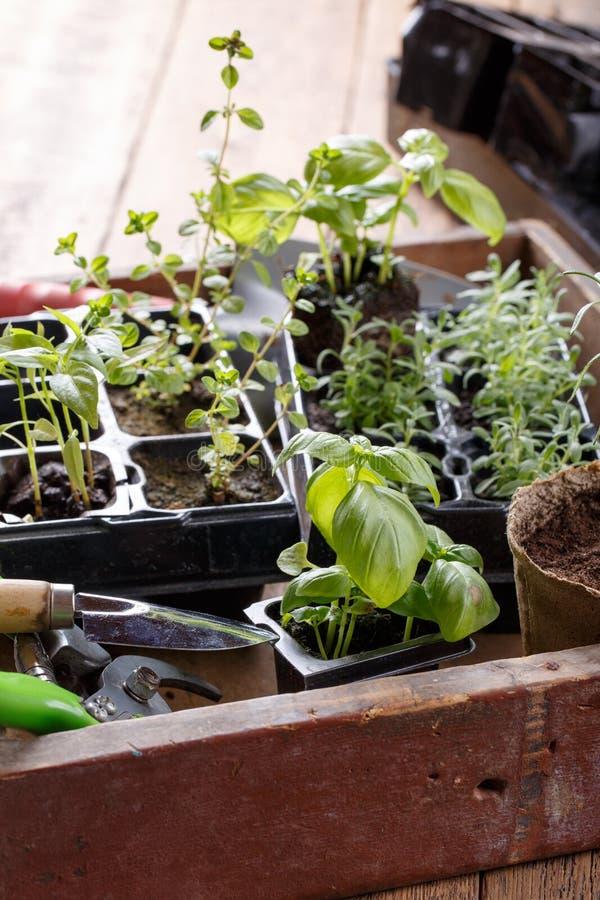 Sämlinge des grünen Basilikums, Thymian, Lavendel, Pfeffer lizenzfreies stockfoto