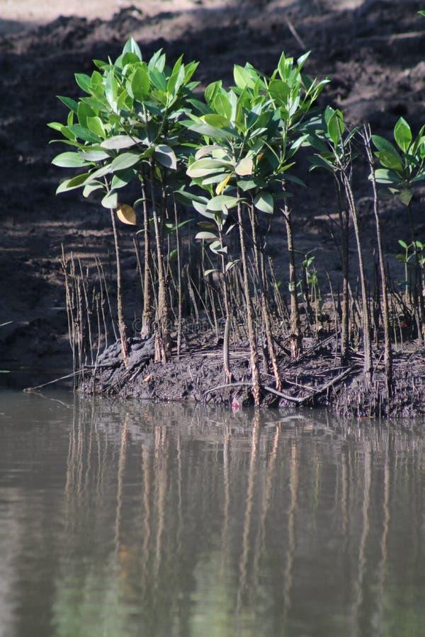 Sämlinge von Bäumen der schwarzen Mangrove in Umlalazi stockfotos