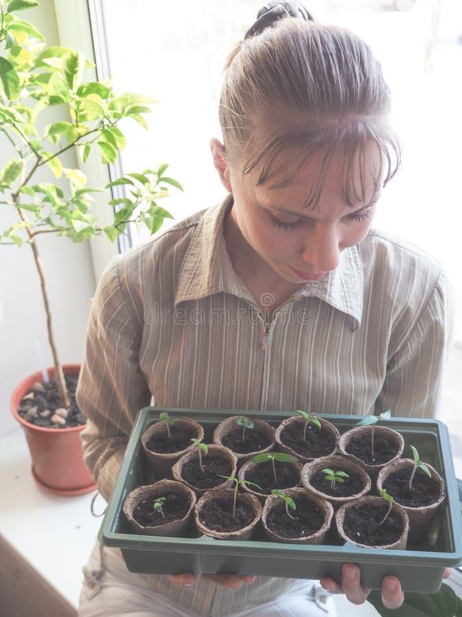 Sämlinge von Tomaten in den Torftöpfen Gemüselandwirtschaft stockbild