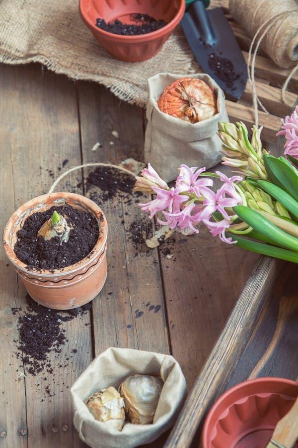 Sämlingsgartenwerkzeug-Birnengladiolehyazinthe lizenzfreies stockbild