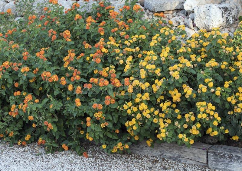 Säng av Lantanaväxter med gula och orange blommaklungor royaltyfri bild
