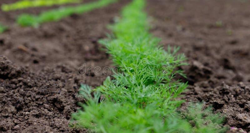 Säng av ny grön dill i byträdgård arkivfoto