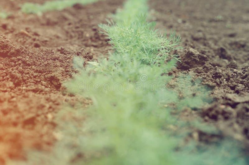 Säng av ny grön dill i byträdgård arkivfoton