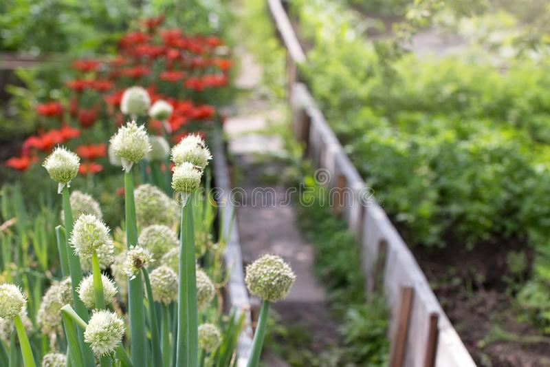 Sängar med salladslökar, blommor och potatisar i solig sommardag royaltyfri foto