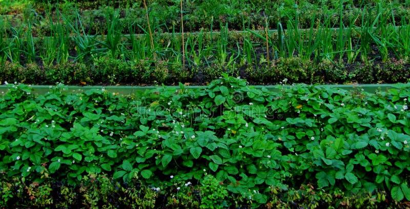 Sängarna av jordgubbar, bär och lökar trädgårdsäsongen royaltyfria foton
