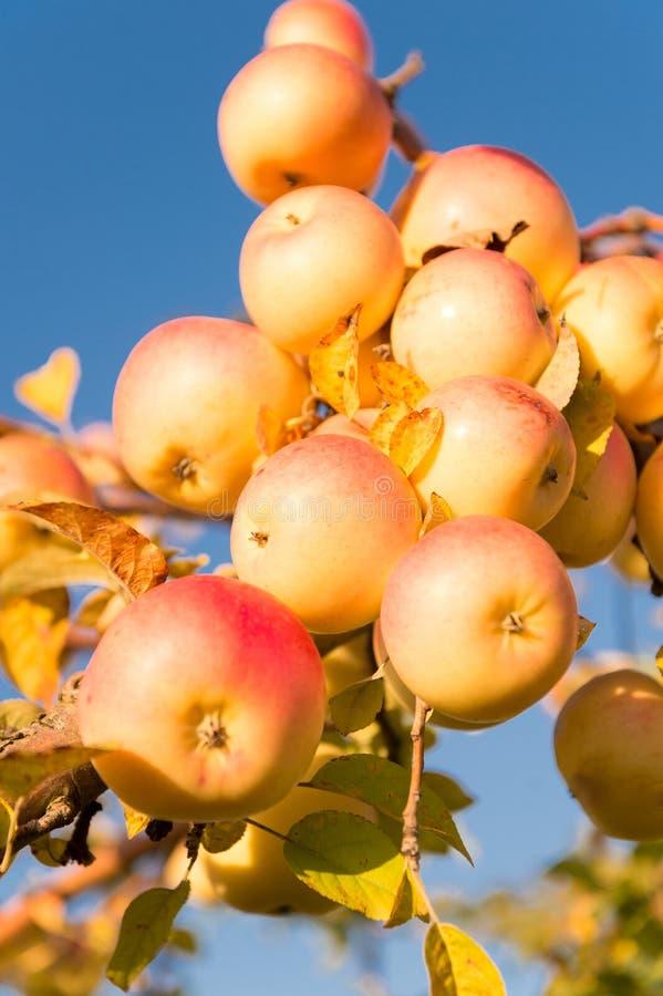 Säsong för höstäppleplockning Richskördbegrepp Äpplen gulnar mogna frukter på filialhimmelbakgrund Äpplen arkivfoton