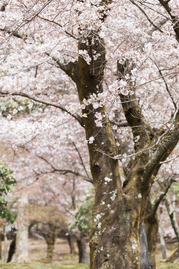 Säsong för körsbärsröd blomning i Nara arkivfoto