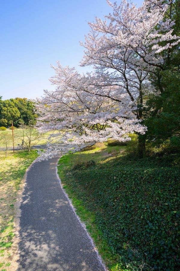 Säsong för körsbärsröd blomning i Showa Kinen Koen arkivfoto