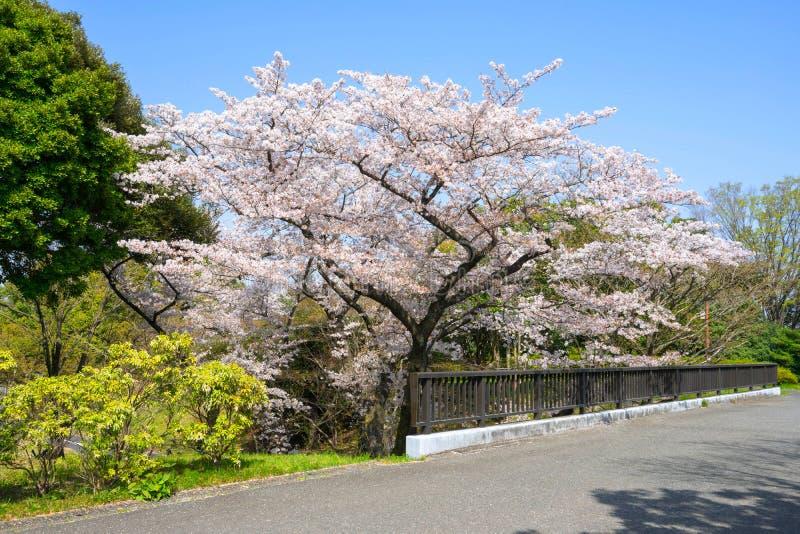 Säsong för körsbärsröd blomning i Showa Kinen Koen arkivbild