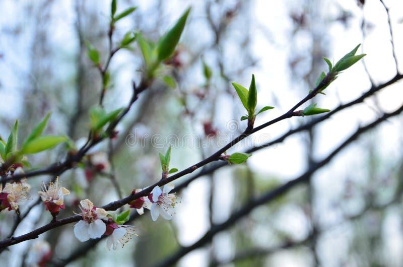 Säsongblom i den trädgårds- äpplesacuraen arkivbilder