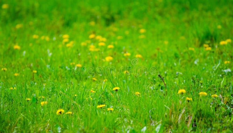 Säsongsbetonad vårträdgård med nya grönt gräs och maskrosor royaltyfri foto