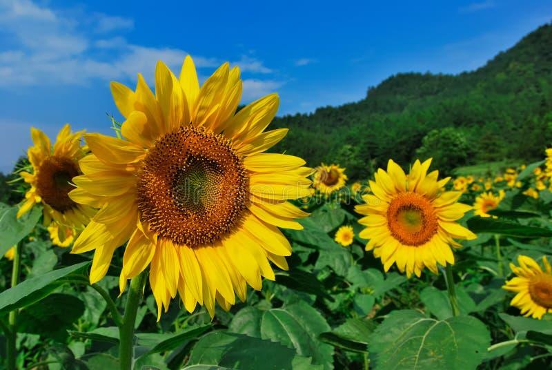 Sätta in av den Sun blomman arkivbild
