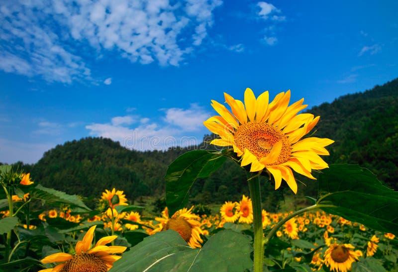 Sätta in av den Sun blomman royaltyfria foton