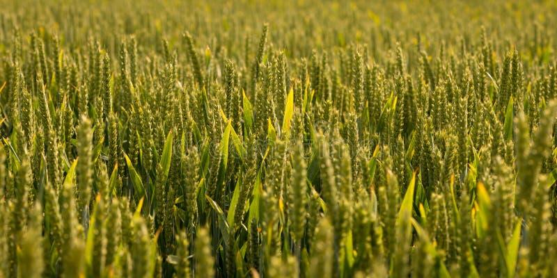 Sätta in av grönt korn arkivfoto