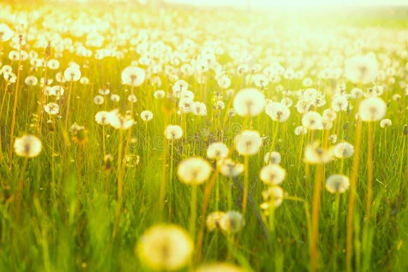 Sätta in av maskrosor Grön sommaräng med maskrosor på solnedgången royaltyfria bilder