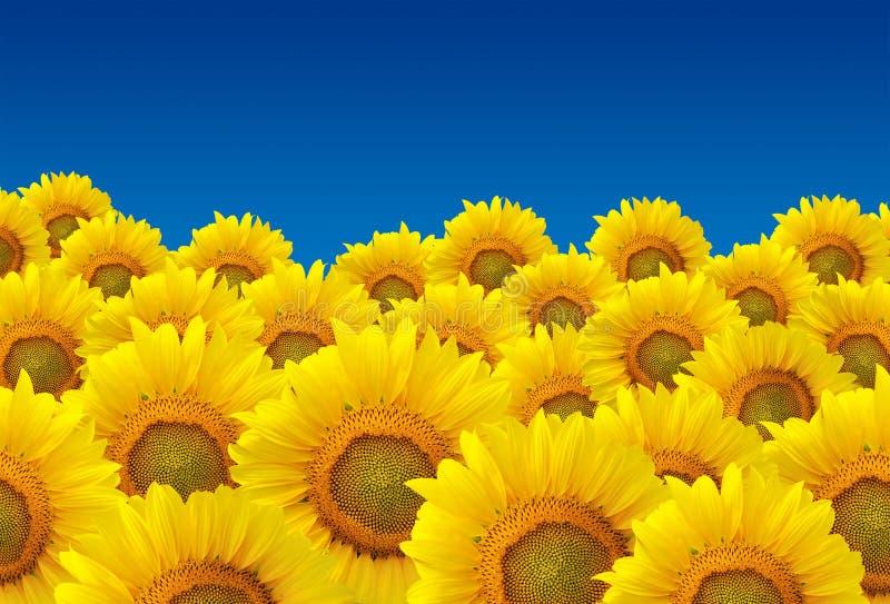 Sätta in av solrosor royaltyfri bild