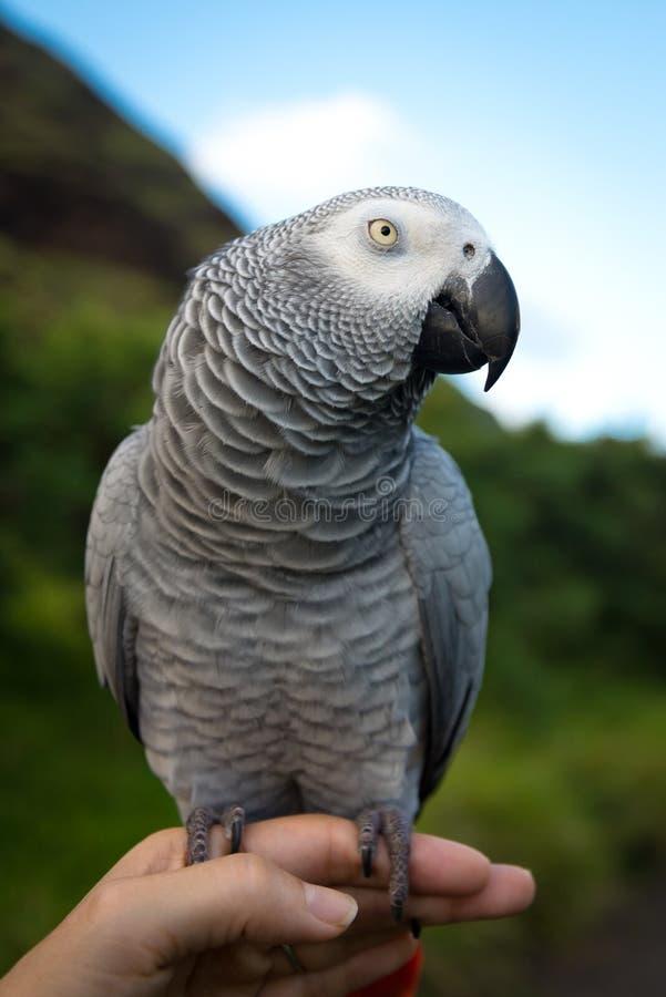 Sätta sig den gråa) papegojan för afrikanska grå färger (på en mänsklig hand royaltyfri foto