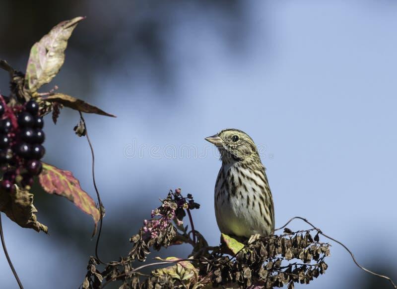 Sätta sig Savannah Sparrow arkivfoto