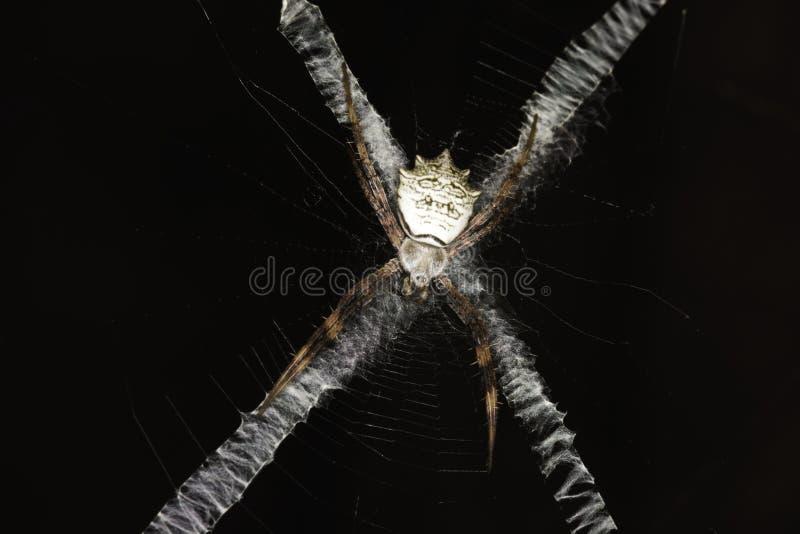 Sätter band satte band flavipalpis för enrengöringsduk spindelargiope som döljer på dess ` roteraa Shape för rengöringsduk` X arkivbild