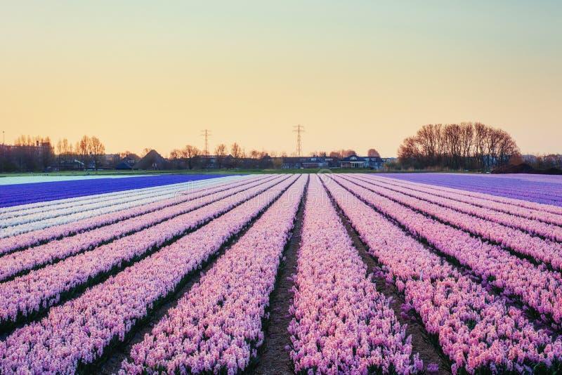 Sätter in hyacinter som blommar blommor på den fantastiska solnedgången _ fotografering för bildbyråer