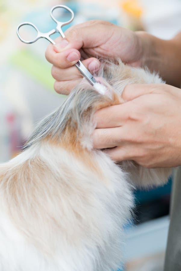 Säubern Sie Ohrhund durch Rohbaumwolle stockfotos
