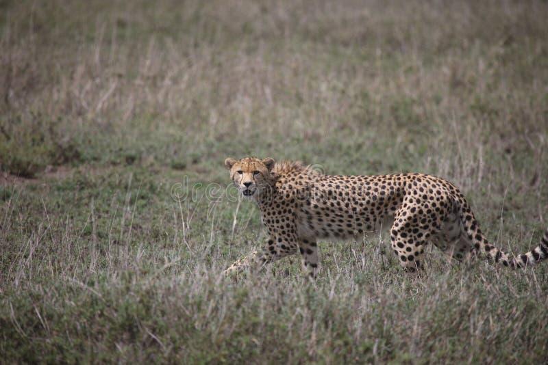 Säugetier des wilden Tieres Savanne Gepard-Botswanas Afrika lizenzfreie stockbilder